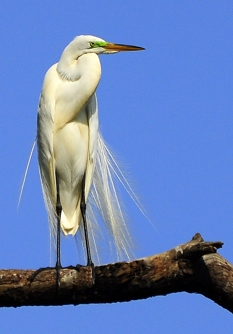 Photograph Great White Egret by Peter Michael on 500px