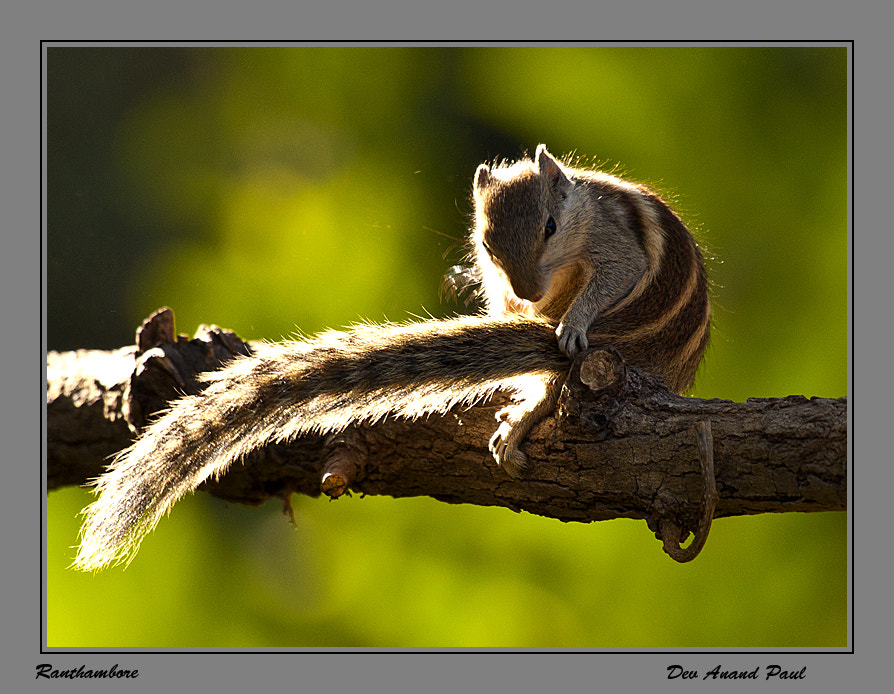 Photograph Squrriel by Wildlife Frames of Dev Anand Paul on 500px