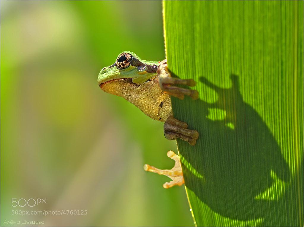 Photograph Tree-frog by Aliona Shevtsova on 500px