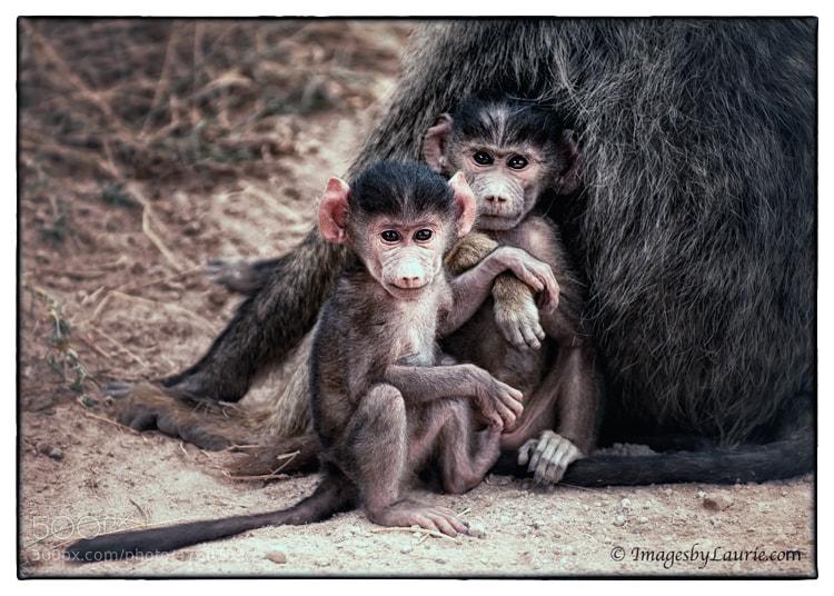 Young Baboons (Amboseli National Park, Kenya)