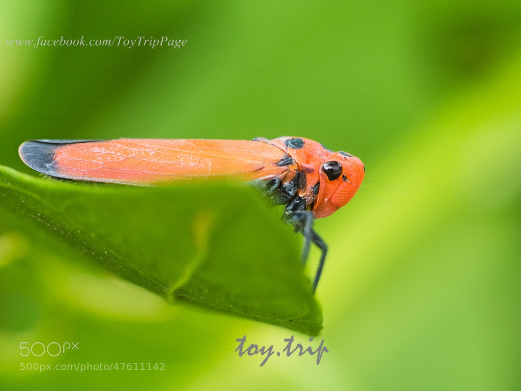 Photograph Red leafhopper by Toy Trip on 500px
