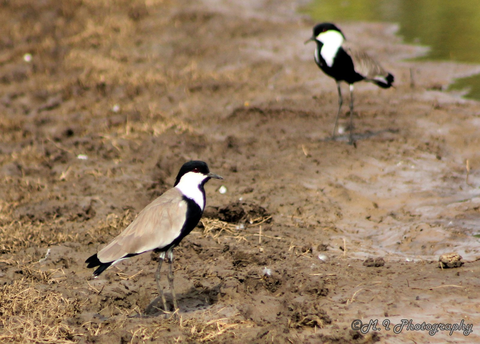 Photograph Spur Winged Lapwing by Mohamed Ismael on 500px