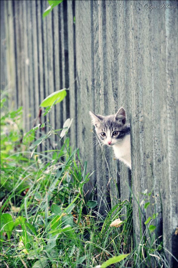 Peek-a-Boo Kitten by Olga Kolousova