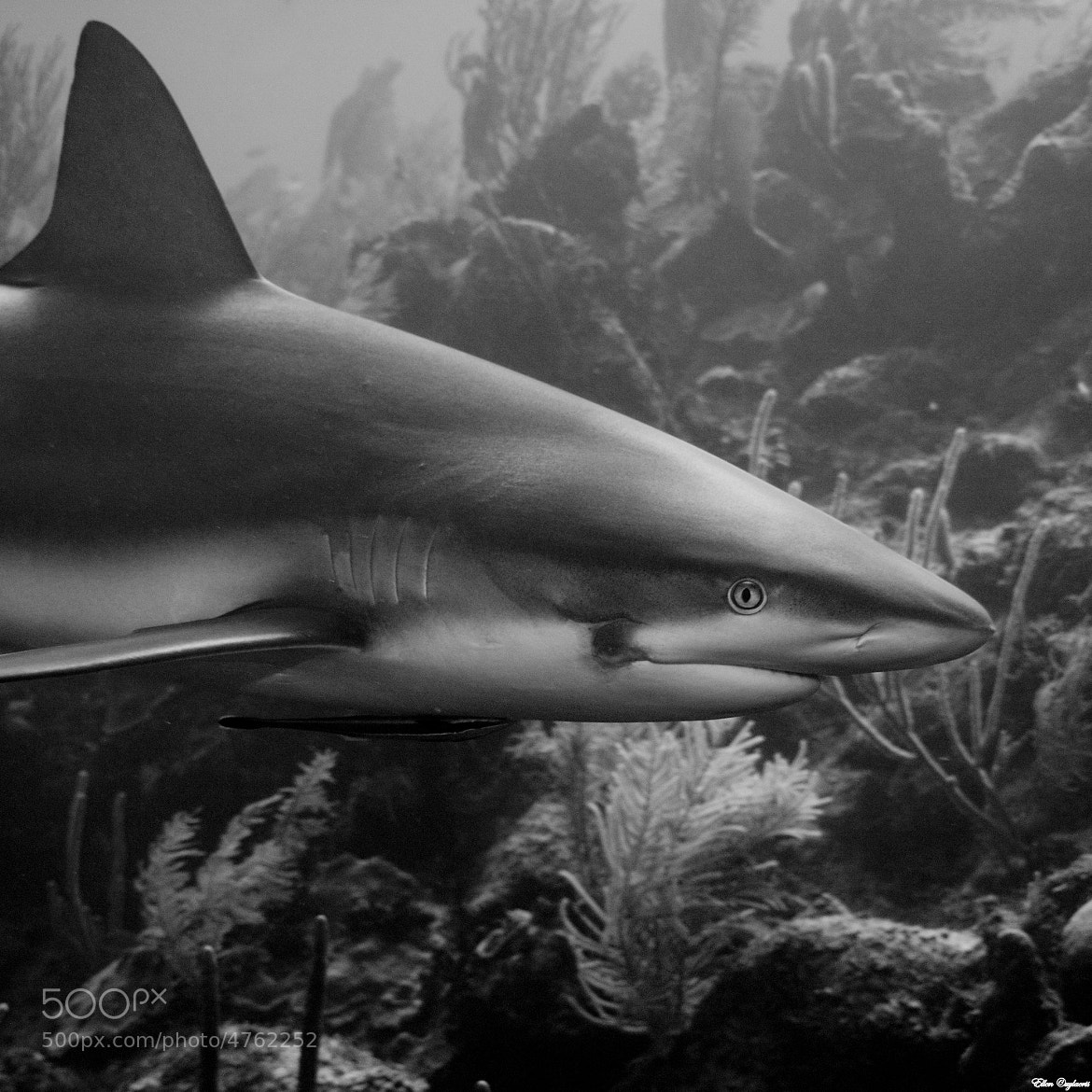 Photograph A reef shark's natural habitat by Ellen Cuylaerts on 500px