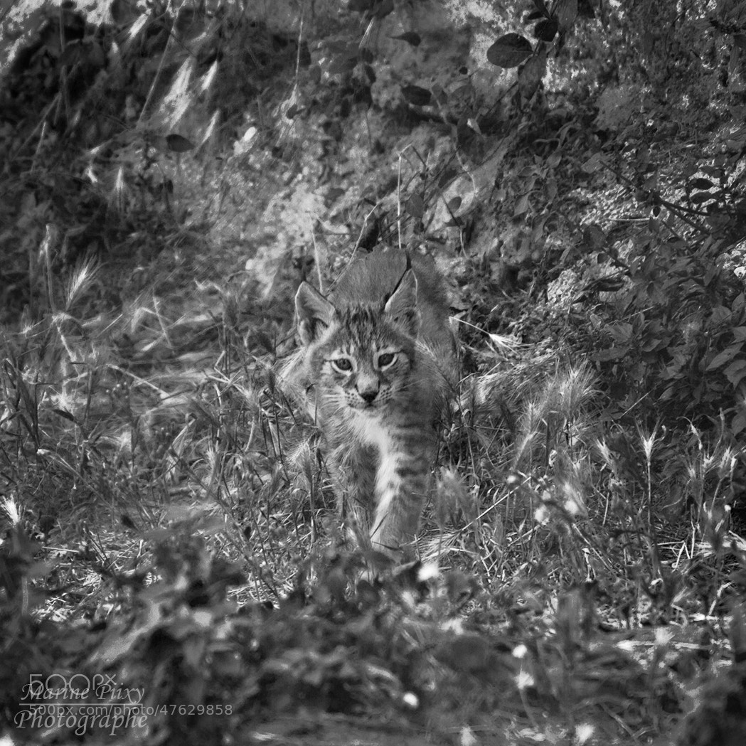 Photograph Bébé lynx by marine piixy on 500px