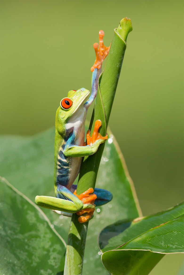 Photograph Red Eyed Tree Frog by Milan Zygmunt on 500px