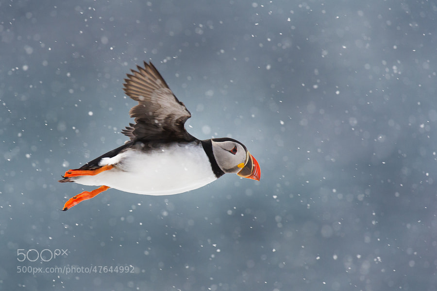 Photograph Puffin in snow by Audun Dahl on 500px