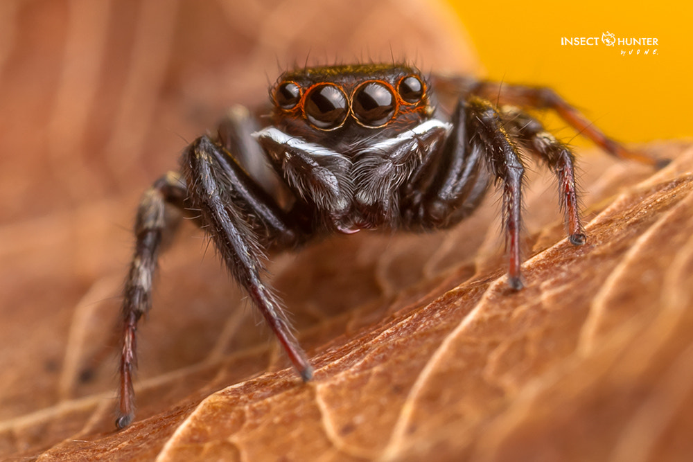 Photograph jumping spider by Buffalo BlogGang on 500px