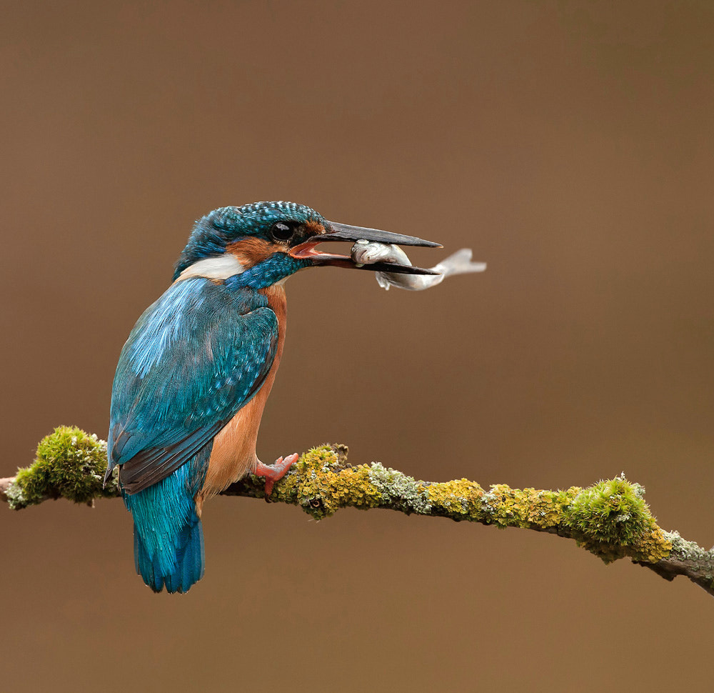 Photograph Kingfisher by Phil  Morgan on 500px