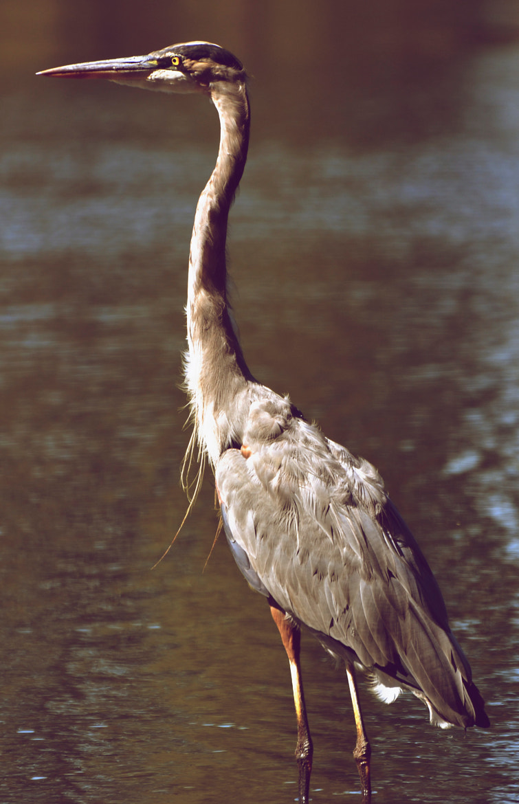 Photograph Retro Heron by Mike Melnotte on 500px