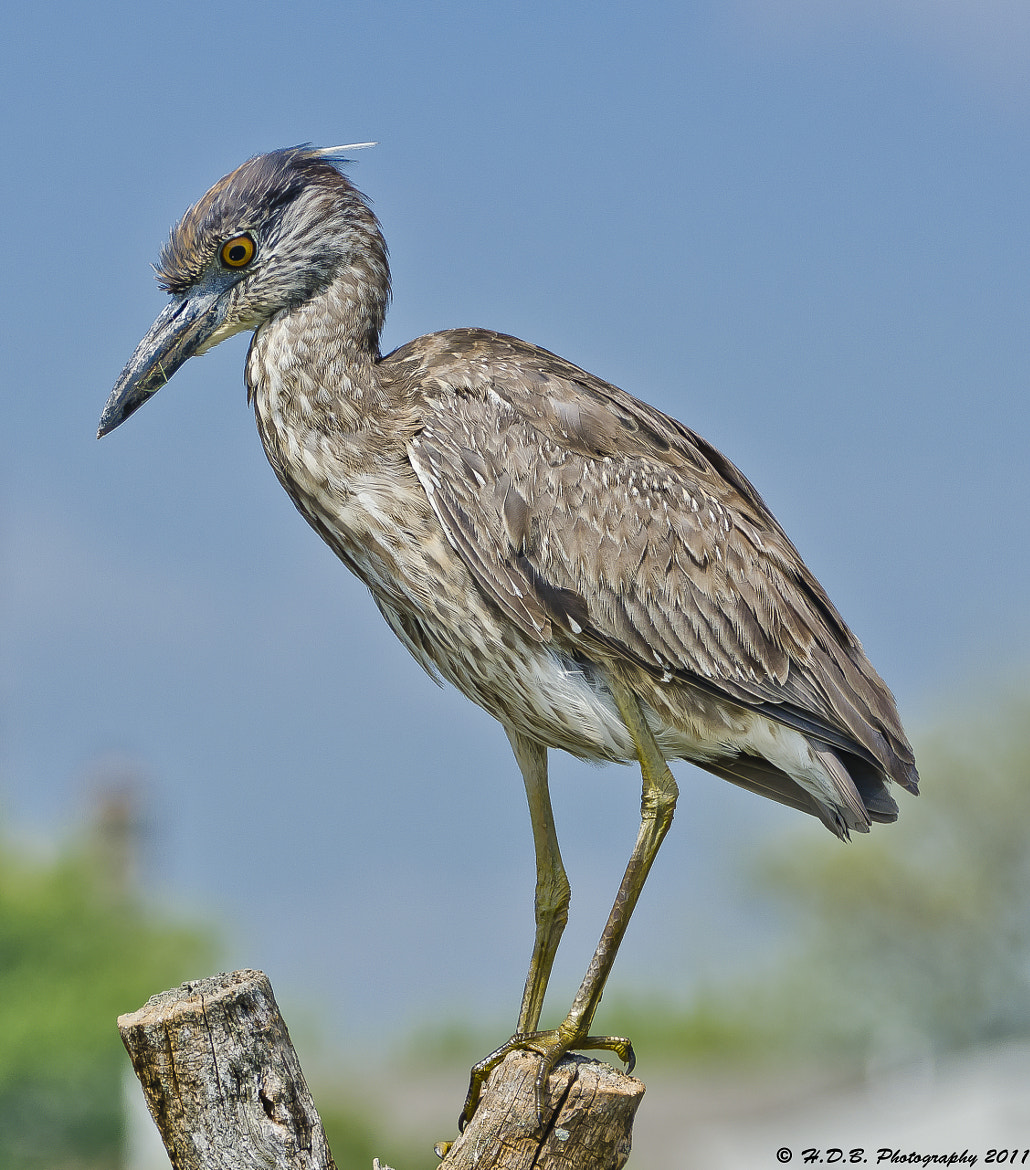 Photograph Imature Yellow Crowned Night Heron by Harold Begun on 500px