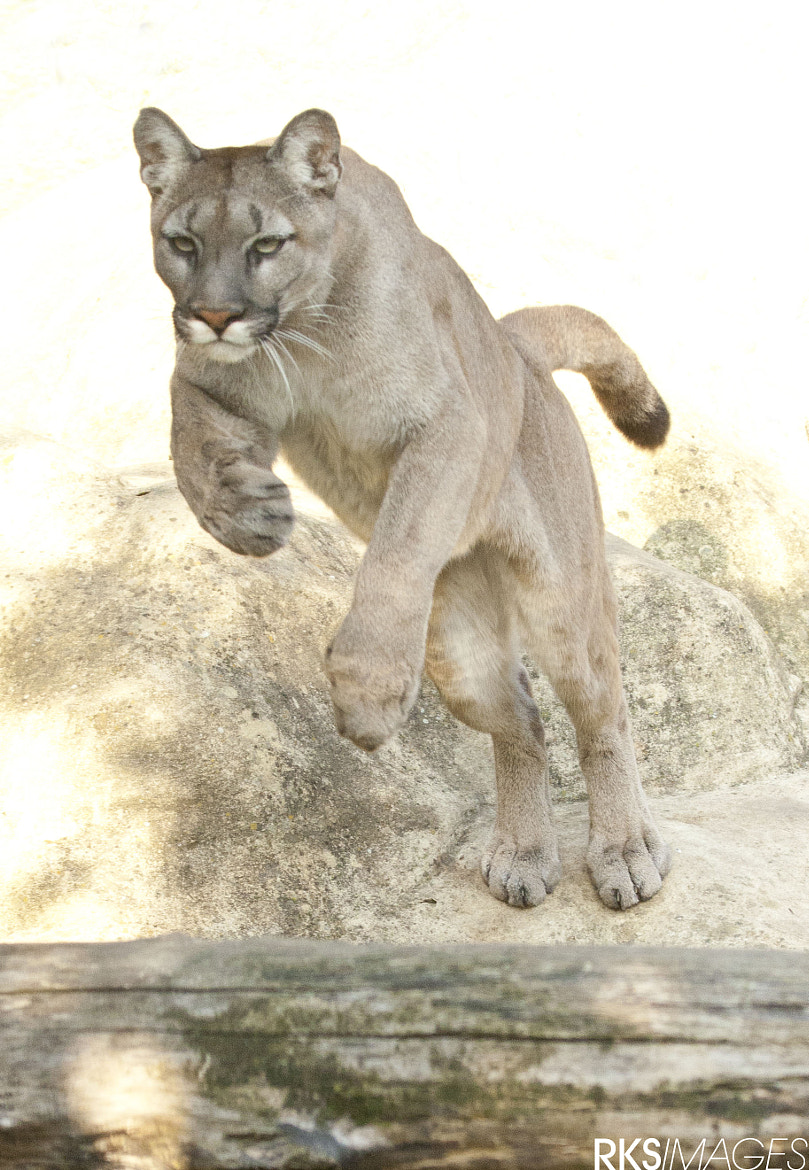 Photograph Puma jump by Rose Smith on 500px