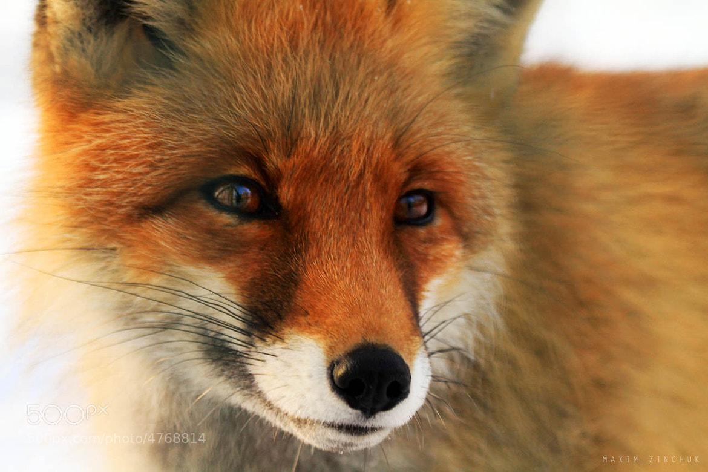 Photograph Fox* by Maxim Zinchuk on 500px
