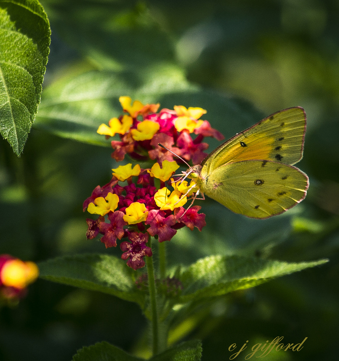 Photograph Butterfly Bouquet by Connie  Gifford on 500px
