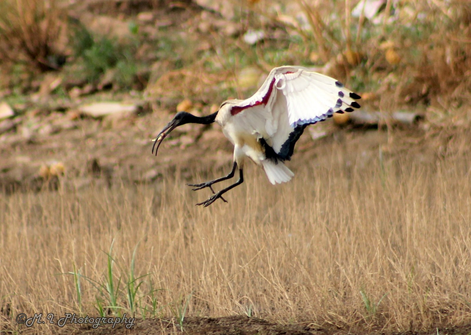 Photograph African Sacred Ibis by Mohamed Ismael on 500px