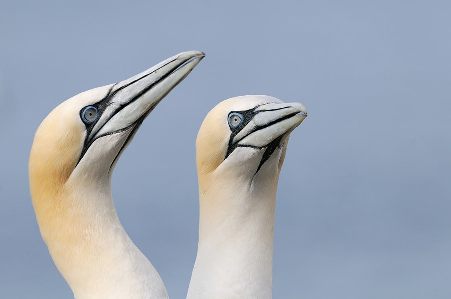 Pair of Northern Gannets on Bass Rock, Firth of Forth, Scotland