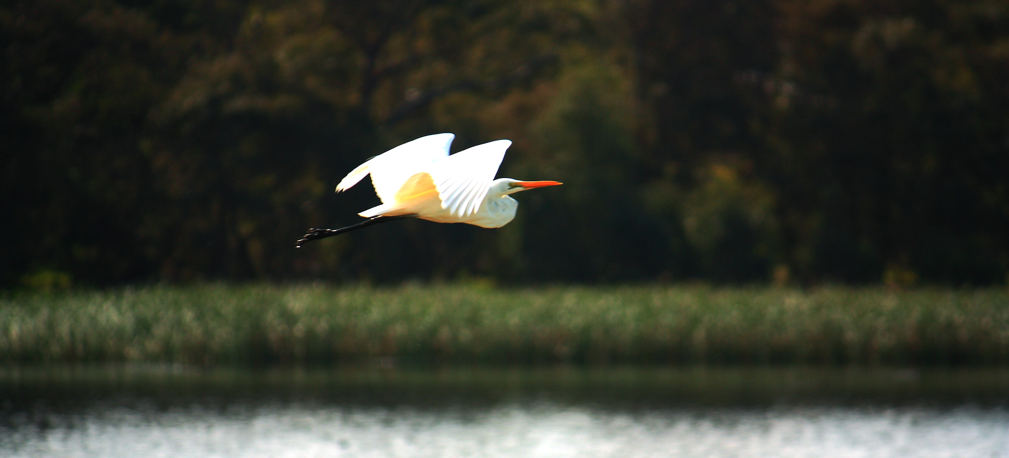 Photograph Flight of an Egret by Nicholas Dirnberger on 500px