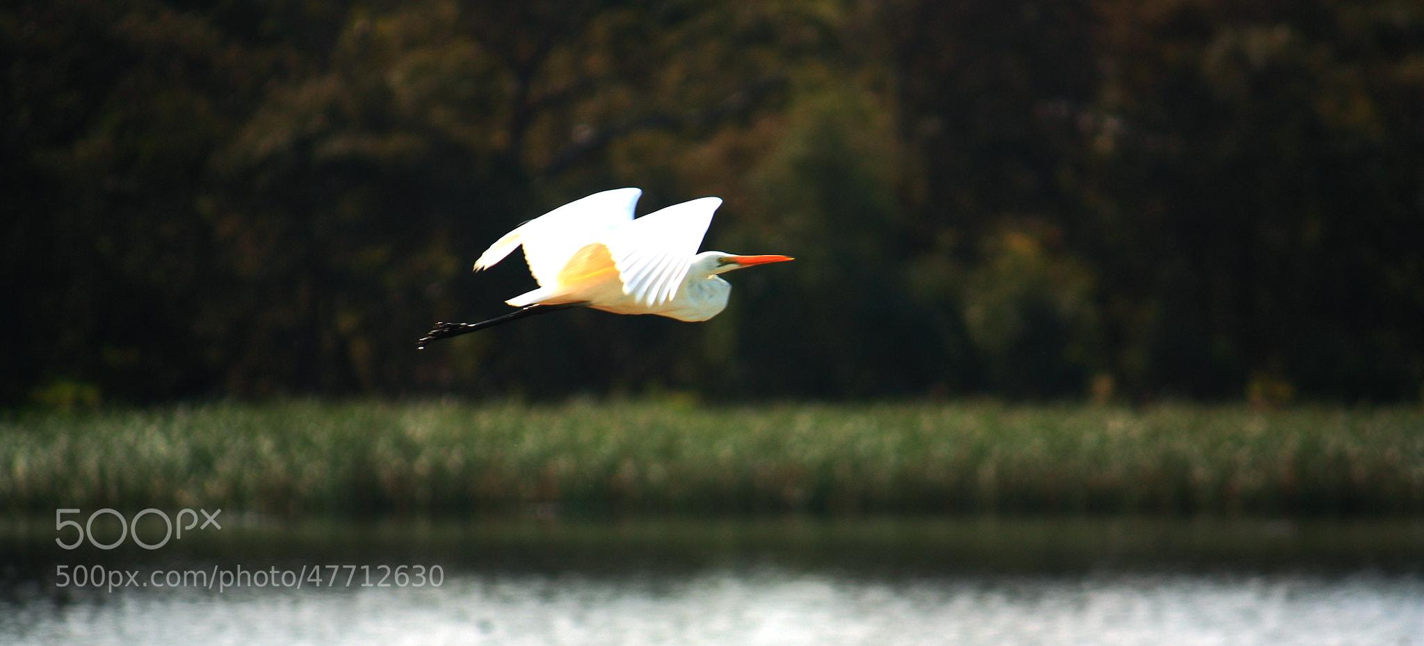 Photograph Flight of an Egret by Nicholas Dirnberger on 500px
