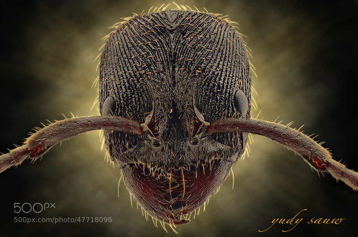 Photograph BLACK ANT by Yudy Sauw on 500px