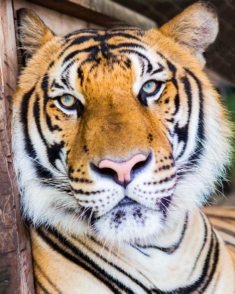 Photograph Chiang Mai Tiger by Guy Brown on 500px