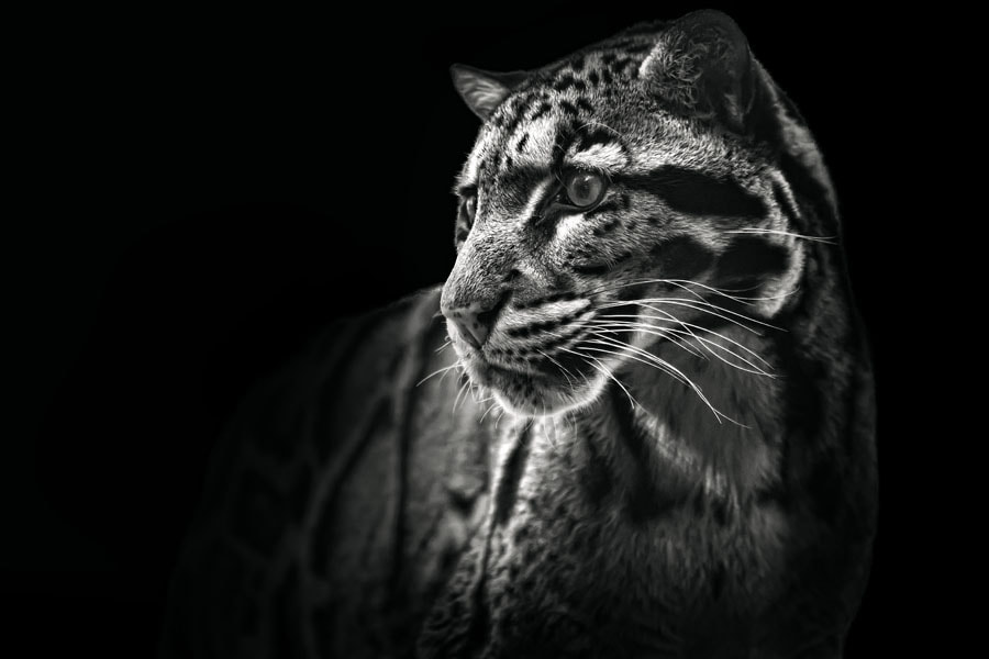 Photograph Clouded Leopard by Malcolm MacGregor on 500px