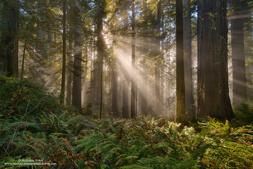 Photograph Redwood Gold by Michael Ryan on 500px