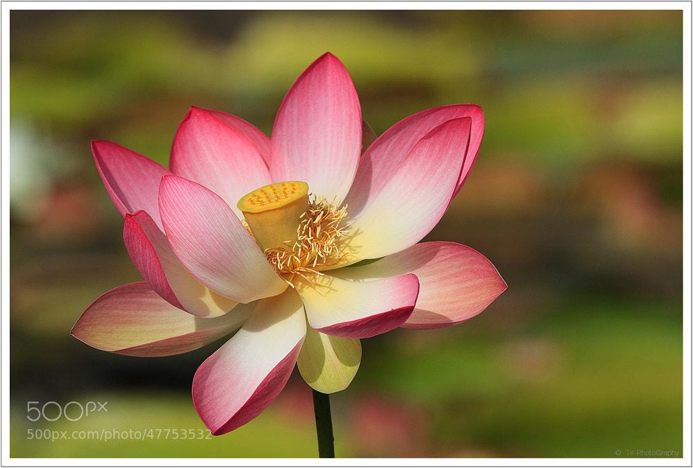 Photograph Indian Lotus by Tobi K on 500px