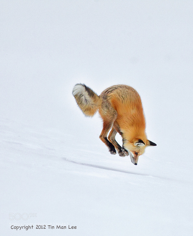Photograph Red Fox Pouncing in Snow by Tin Man on 500px