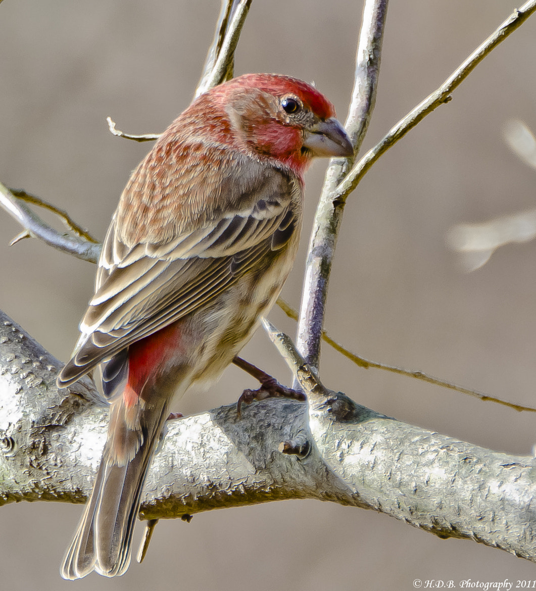Photograph Male House Finch by Harold Begun on 500px