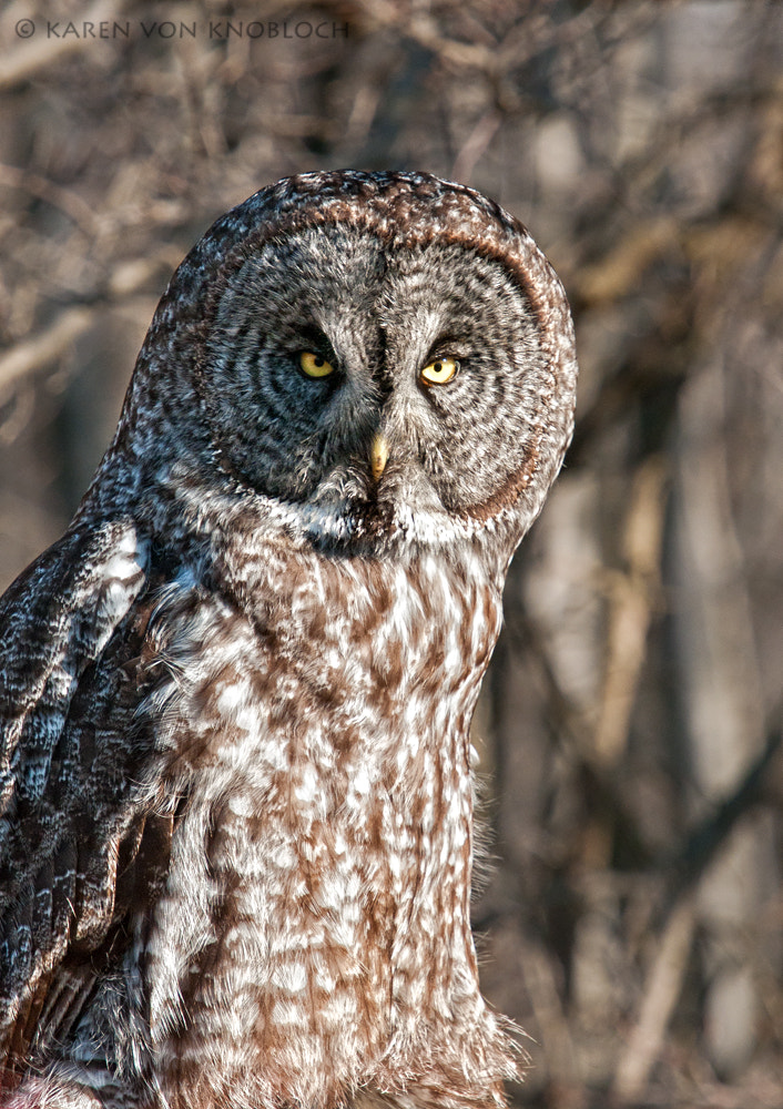 Photograph Great Gray Owl Portrait  by Karen von Knobloch on 500px