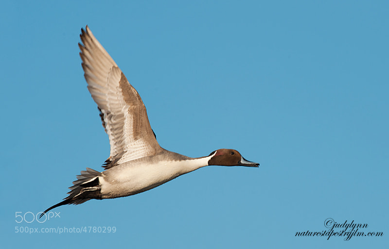 This is an image of a male pintail taken yesterday in central Florida.  It is full frame and no cropping.