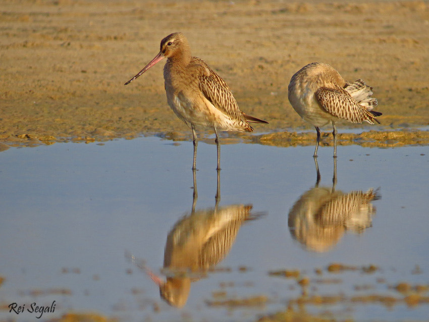 Photograph Bar-tailed Godwit by rei segali on 500px