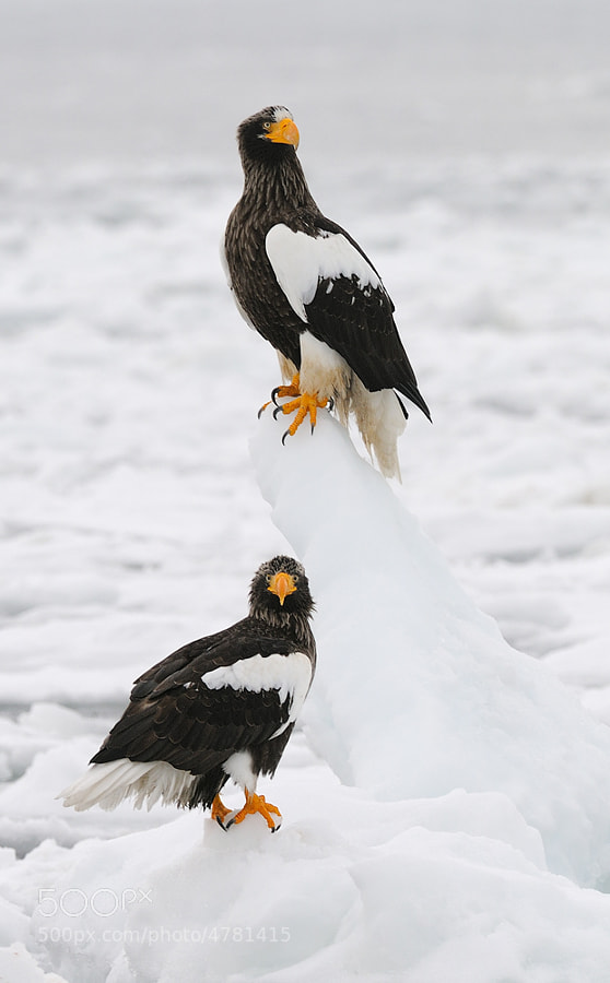 Two Stellers, must be the female on top :-), on a piece of ice floating at the Sea of Okhotsk, in the North Eastern part of Hokkaido, Japan