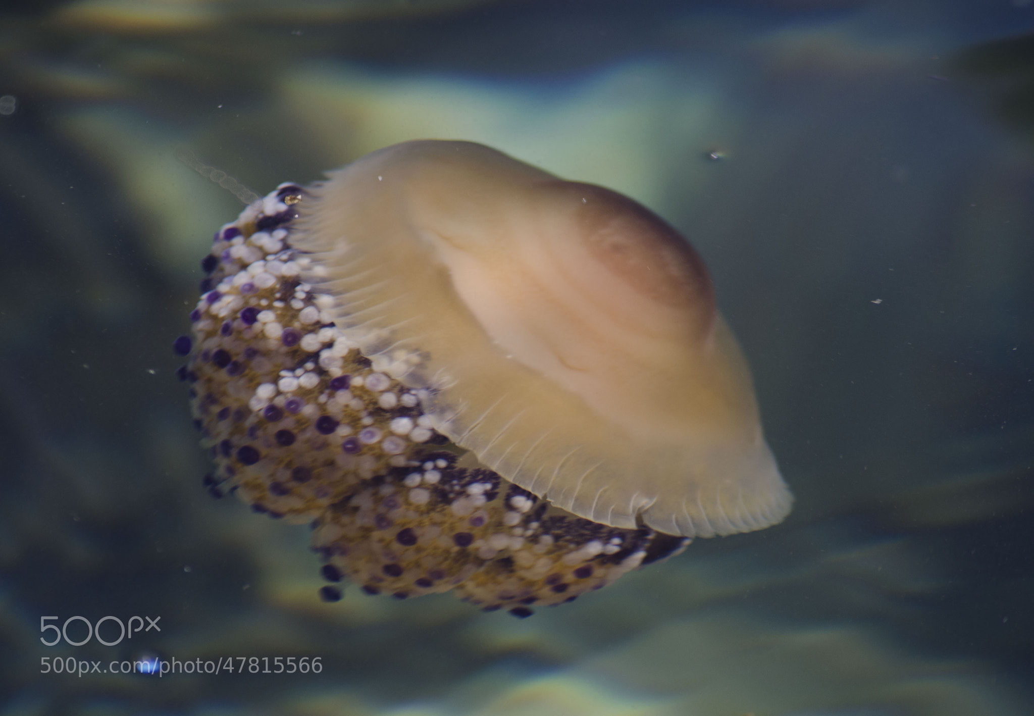 Photograph Jelly fish by Martyn Addison-Smith on 500px