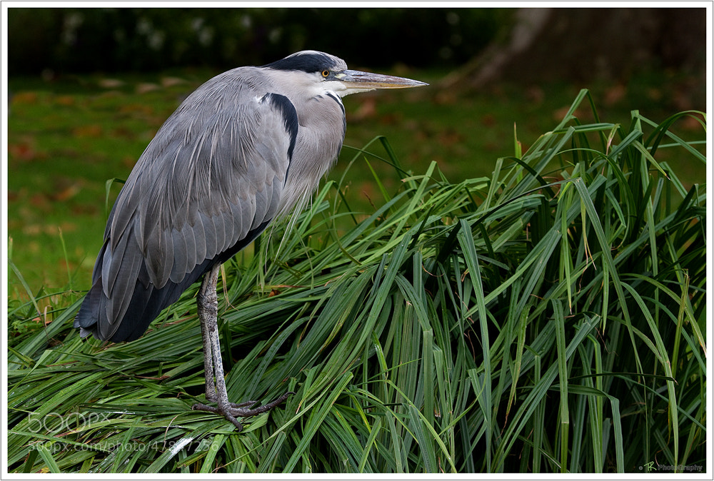 Photograph Grey Heron by Tobi K on 500px