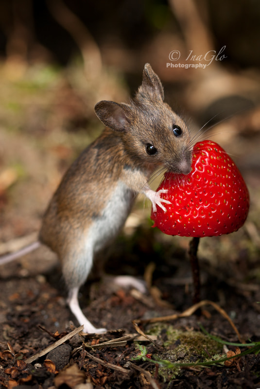 Photograph Topo Woodmouse by InaGlo Photography on 500px