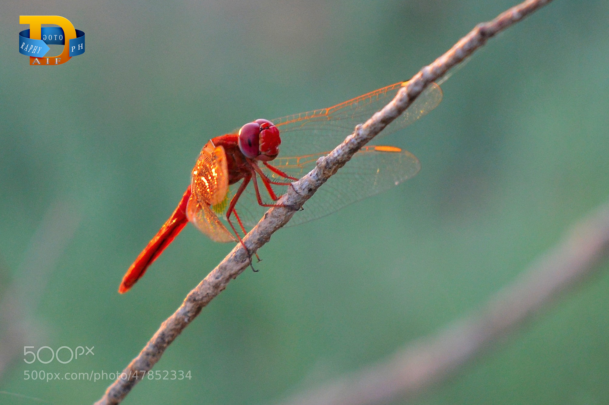 Photograph dragonfly by Daifallah Mansour on 500px