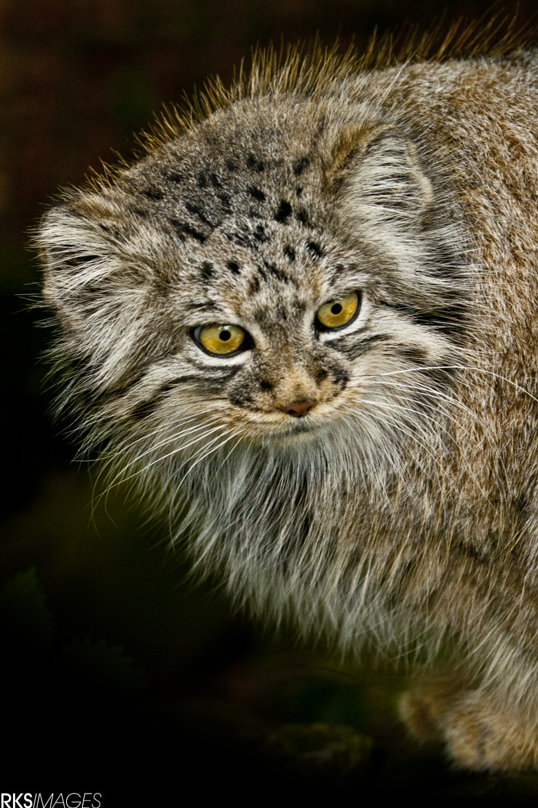 Photograph Pallas Cat by Rose Smith on 500px