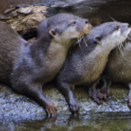 Otter Triplets