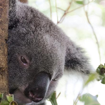 Koala Profile