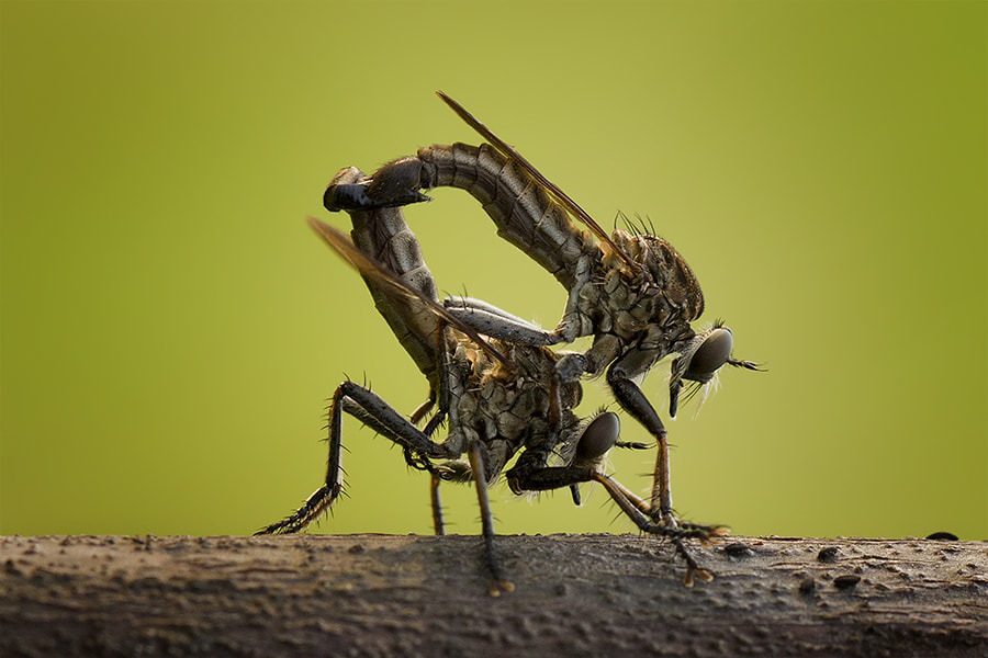 Photograph robber mating  by  Hendy Mp on 500px