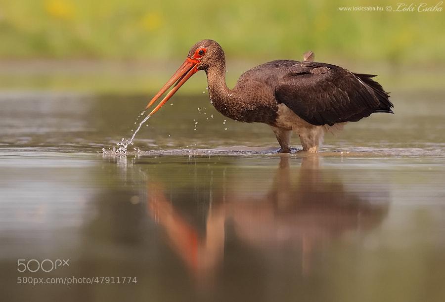 Photograph Black Stork by Csaba Loki on 500px