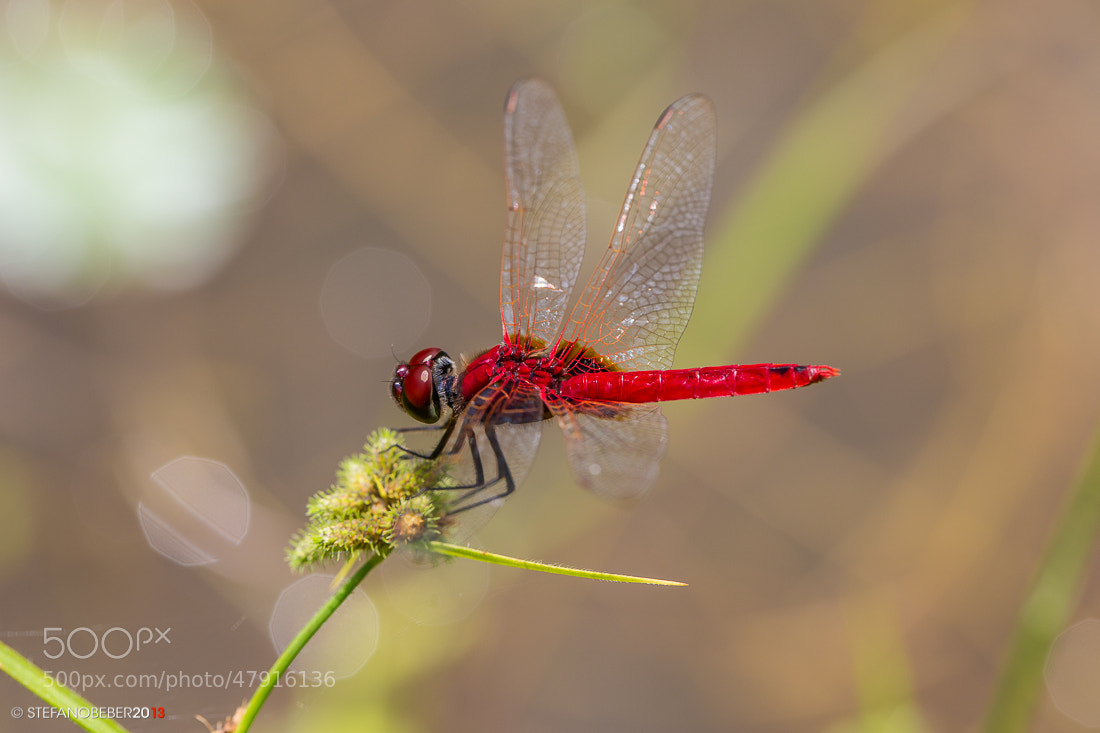 Photograph Red Dragonfly by Stefano Beber on 500px