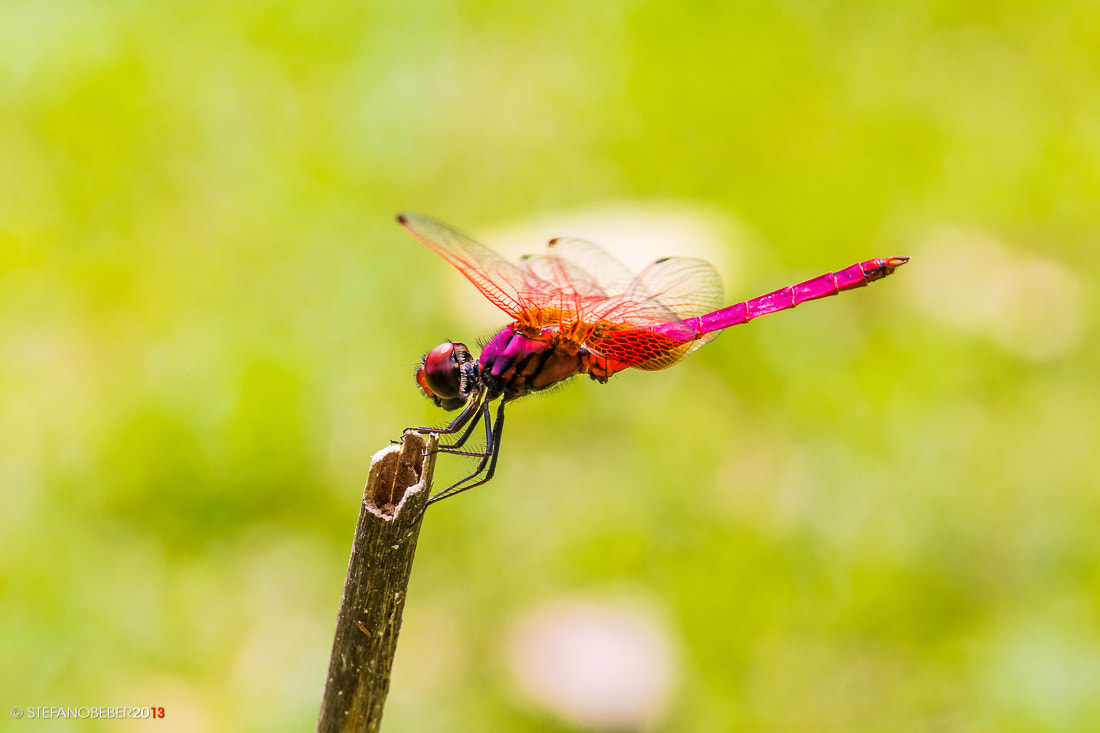 Photograph Red-Purple Dragonfly by Stefano Beber on 500px