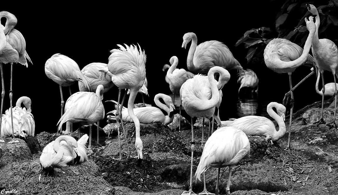 Photograph Flamboyance Of Flamingos by Cyrelle K on 500px
