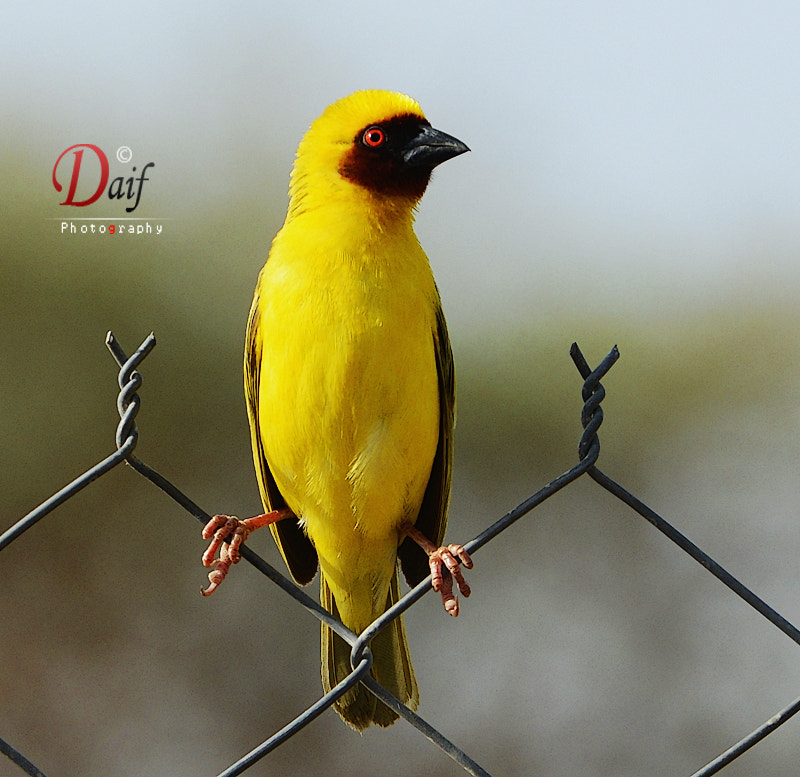 Photograph yellow bird by Daifallah Mansour on 500px