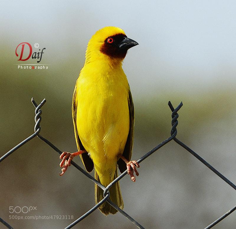 Photograph yellow bird by Daifallah Mansour on 500px