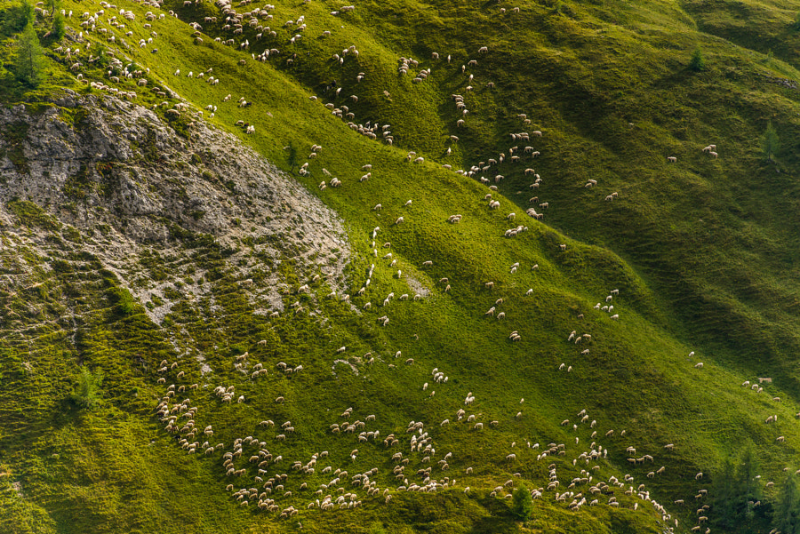 Counting Sheep :) by Hans Kruse on 500px.com