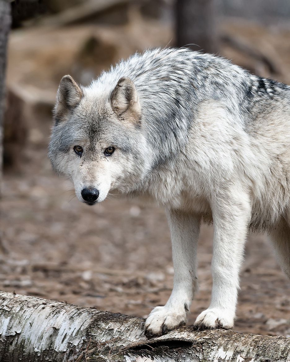 Photograph A Wolf up Close by Rodney Brown on 500px