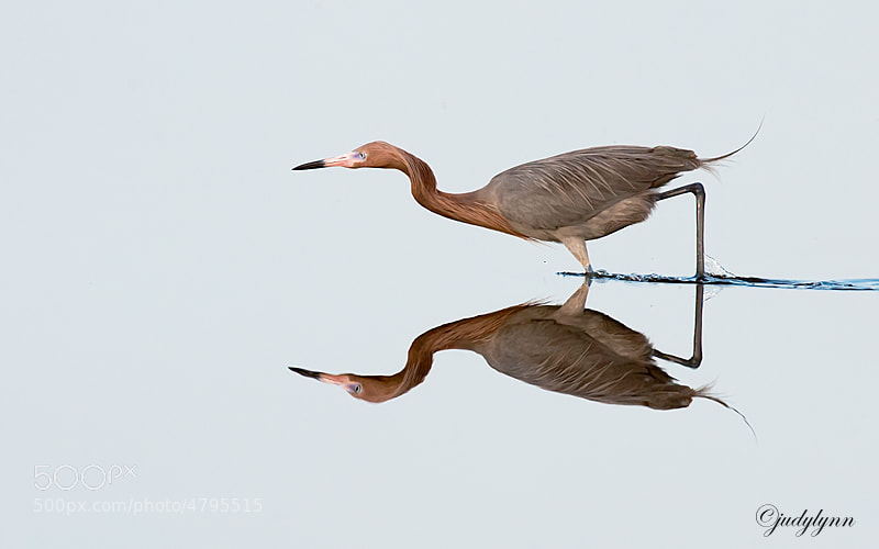 This is an image of a reddish egret i.  They spend much of theirtime fishing and this one is posed and ready to strike.